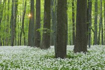 Germany, View of Ramson and beech trees in forest — Stock Photo