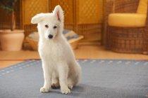 Біла швейцарська вівчарка щенки сидячи на синій килим у кімнаті — стокове фото