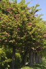 Мідленд глоду квітучих дерев у саду у землі Рейнланд-Пфальц, Німеччина — стокове фото