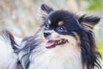Noir et blanc Pomeranian chien, gros plan — Photo de stock