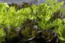 Primer plano de las plantas de lechuga de colores frescos - foto de stock