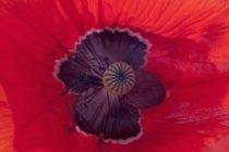 Fiore rosso del papavero, vista del primo piano — Foto stock