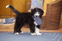 Бородатый щенок колли с тапочкой во рту — стоковое фото