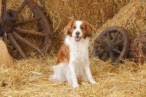 Small Dutch Waterfowl Dog sitting on straw in barn — Stock Photo