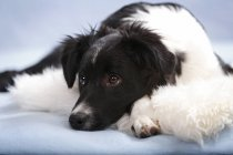 Lying border collie puppy on fluffy blanket — Stock Photo