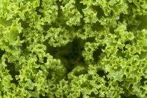 Primer plano de hojas verdes frescas de ensalada de lechuga - foto de stock