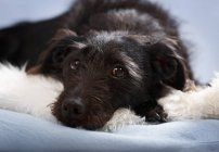 Mixed breed dog lying on fluffy carpet and looking at camera — Stock Photo