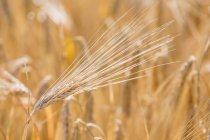 Крупный план ячменных ушей в поле днем — стоковое фото