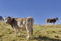 Испания, Арагон, Центральных Пиренеях, национального парка Ордеса и Монте Пердида, крупного рогатого скота на лугу — стоковое фото