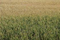 Norte de Alemania, Vista del campo de maíz durante el día - foto de stock