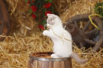 British Shorthair kitten playing with hay on wooden barrel in barn — Stock Photo
