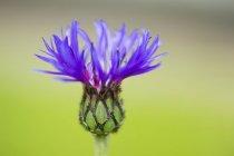 Васильковый цветок на зеленом размытом фоне, закрыть — стоковое фото