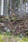 Bouquetin d'Autriche, Styrie, dans le Parc National du Gesäuse — Photo de stock