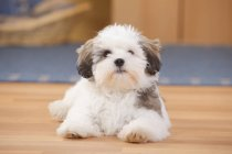Mixed Breed Dog puppy lying on wooden floor — Stock Photo