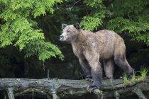 Hembra de oso pardo que está parado en tronco de árbol, vista lateral - foto de stock