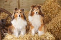 Two Shetland Sheepdogs sitting on straw bale in barn — Stock Photo