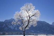Морозы дерево в Швангау, Бавария, Германия — стоковое фото
