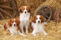 Three Nederlandse Kooikerhondjes on straw in barn — Stock Photo