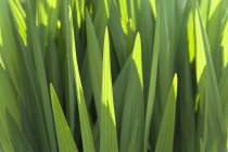 Германия, Мюнхен, ботанический сад, Монбретия, Crocosmia paniculata — стоковое фото