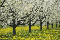 Row of Cherry Trees in blossom standing in orchard. Bavaria, Germany, Europe. — Stock Photo