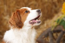 Close-up of Small Dutch Waterfowl Dog looking up in barn — Stock Photo