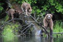 Hembra grizzly con niños al lago, Santuario de osos Grizzly de Khutzeymateen, Canadá - foto de stock