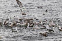 Ireland, County Clare, Lesser black-backed gulls at sea — Stock Photo