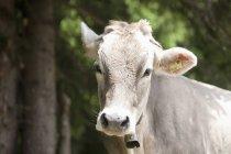 Autriche, Vache laitière, gros plan — Photo de stock
