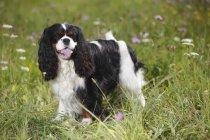Cavalier roi Charles épagneul debout dans la prairie en fleurs — Photo de stock
