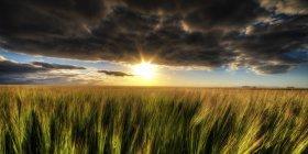 Reino Unido, Escocia, East Lothian, campo de cebada en Berwick del norte - foto de stock
