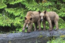 Двох молодих ведмедів Грізлі стоять біля яшми і Національний парк Банф, Альберта, Канада — стокове фото