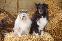 Shetland Sheepdogs sentado na palha no celeiro — Fotografia de Stock