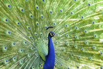 View of Peacock bird, close up — стоковое фото