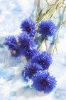 Flores de milho azuis no fundo pintado, close-up — Fotografia de Stock