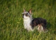 Китайская хохлатая собака стоит в траве — стоковое фото