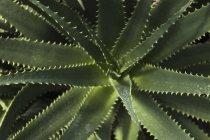 Botanischer Garten, Aloe auf schwarzem Hintergrund, Nahaufnahme — Stockfoto
