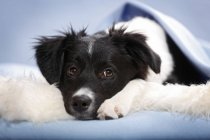 Border collie puppy lying on fluffy carpet and looking at camera — Stock Photo