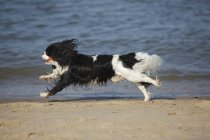 Black and white Cavalier King Charles Spaniel running at shore of sea — Stock Photo