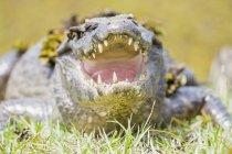Primo piano di Yacare Caiman in erba verde di giorno, Mato Grosso do Sul, Pantanal, Brasilia, Sud America — Foto stock