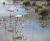 France, Provence Alpes Cote d'Azur, Camargue, two flamingos, Phoenicopterus roseus, walking through marshy landscape — Stock Photo