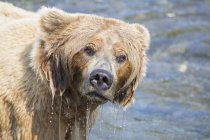 Portrait of brown bear foraging at Brooks Falls at daytime, Katmai National Park, Alaska, USA — Stock Photo