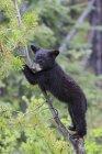 Cub de oso negro americano (Ursus americanus), escalada en árboles - foto de stock