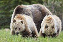 Ведмеді Грізлі сім'ї, матері з молодим тваринам, йдучи на яшми і Національний парк Банф, Альберта, Канада — стокове фото