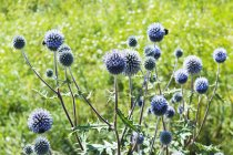 Germany, Rhineland-Palatinate, Globe thistle (Echinops) — Stock Photo