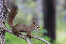 Canadá, Alberta, Parque Nacional Jasper, Parque Nacional de Banff, esquilo-vermelho americano sentado em um galho — Fotografia de Stock