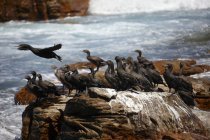South Africa, Cape of Good Hope, Cape cormorants sitting on rock — Stock Photo