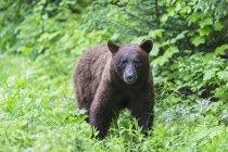 Oso negro americano, Ursus americanus, en hábitat natural - foto de stock