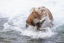 Brown bear with caught salmon at Brooks Falls, Katmai National Park, Alaska, USA — Stock Photo