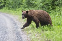 Oso negro americano (Ursus americanus cinnamomum) cruzando la carretera - foto de stock