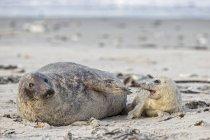 Phoque gris adulte et petit phoque gris sur la plage le jour, île Duene, Helgoland, Allemagne — Photo de stock